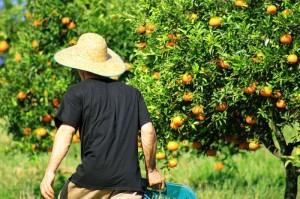 Colhendo laranja