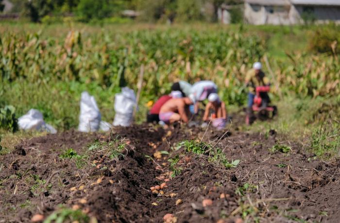 Plantando batatas
