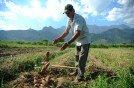 Agricultor caindo batatas
